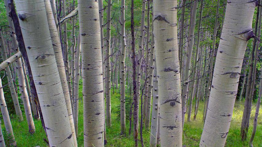 吉纳森国家森林内的颤杨,美国科罗拉多州