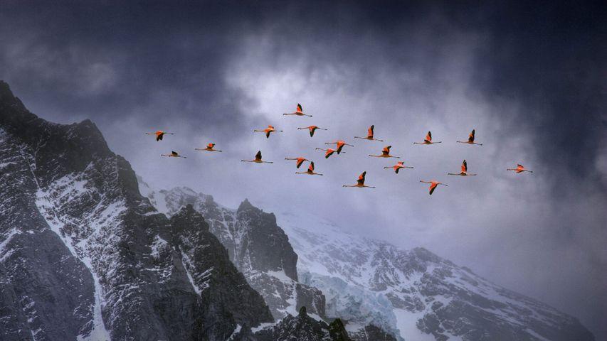 在百内国家公园上空飞翔的智利红鹳,智利
