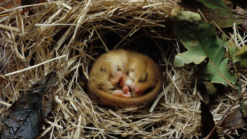 Hazel dormouse (Muscardinus avellanarius) hibernating