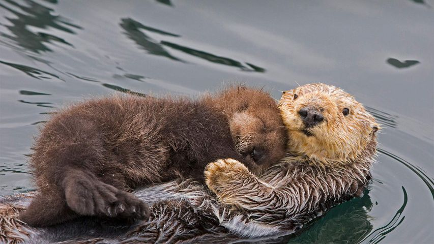 Sea otter mother and newborn pup, Monterey Bay, California