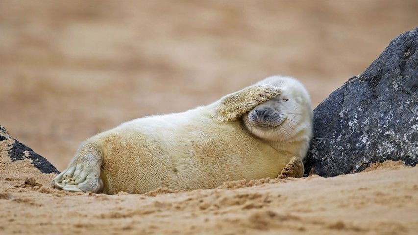 Grey seal pup resting on a beach in Blakeney National Nature Reserve, England