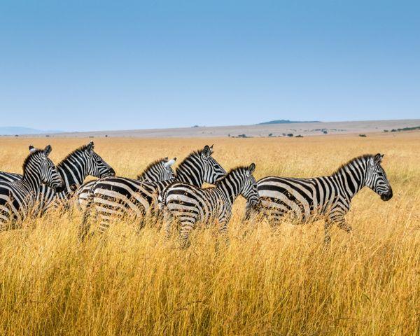 zebra grass sky outdoor tall field herd group