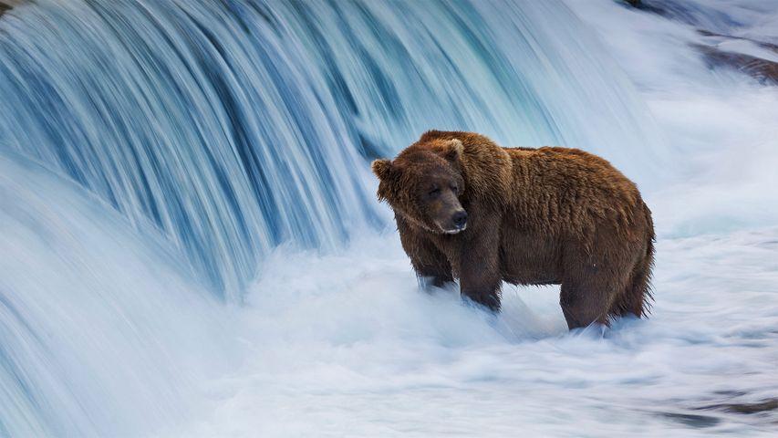 布鲁克斯河中的棕熊,阿拉斯加卡特迈国家公园
