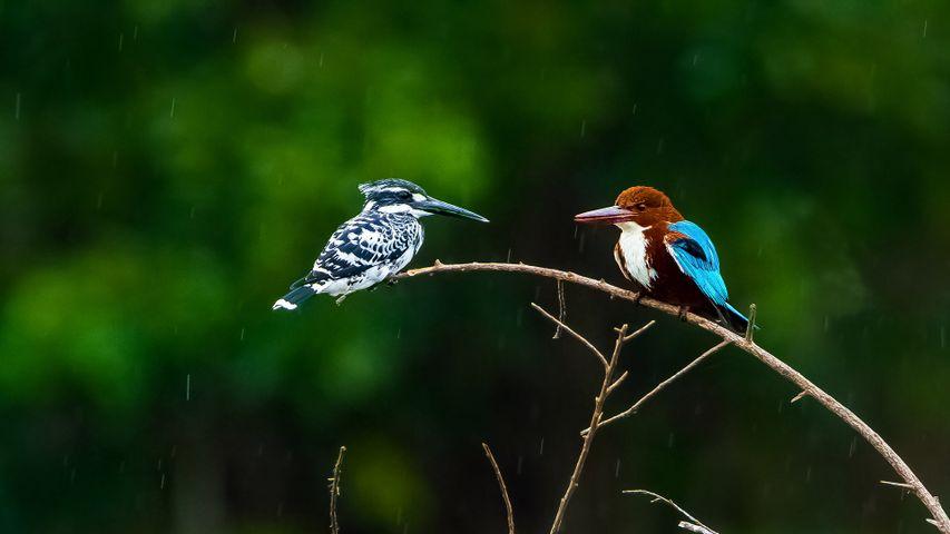 Two kingfishers at the Nagarahole National Park, Karnataka