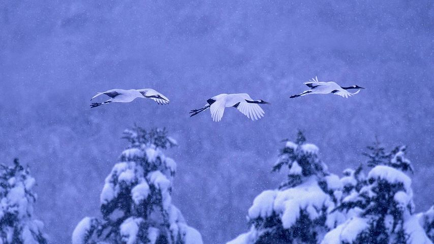 「タンチョウヅル」北海道, 阿寒国立公園