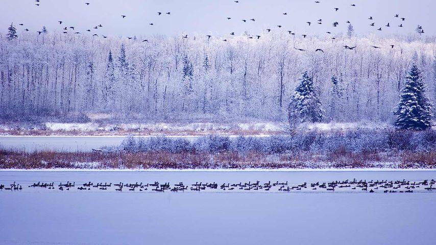 Kanadagänse, Elk-Island-Nationalpark, Alberta, Kanada