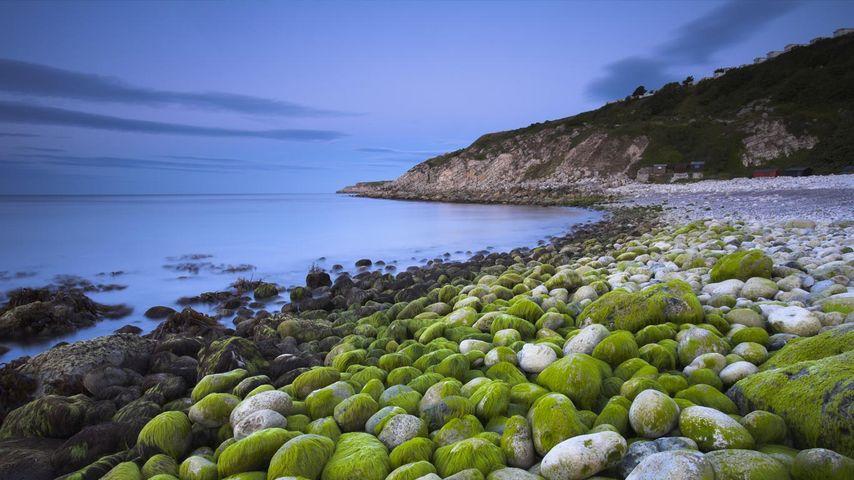 Algae-covered pebbles at Church Ope Cove, Dorset, England