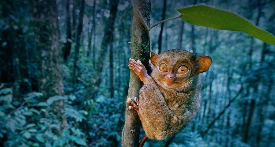 婆罗洲的印度眼镜猴