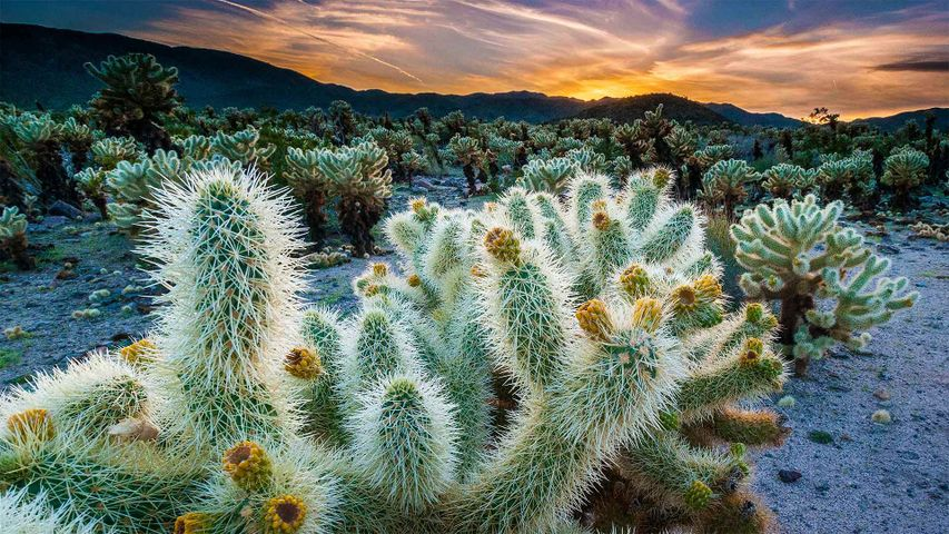 The Cholla Cactus Garden in Joshua Tree National Park, California