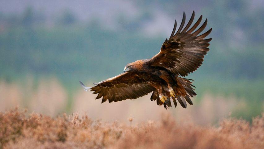 Golden eagle flying over a field, Glenfeshie