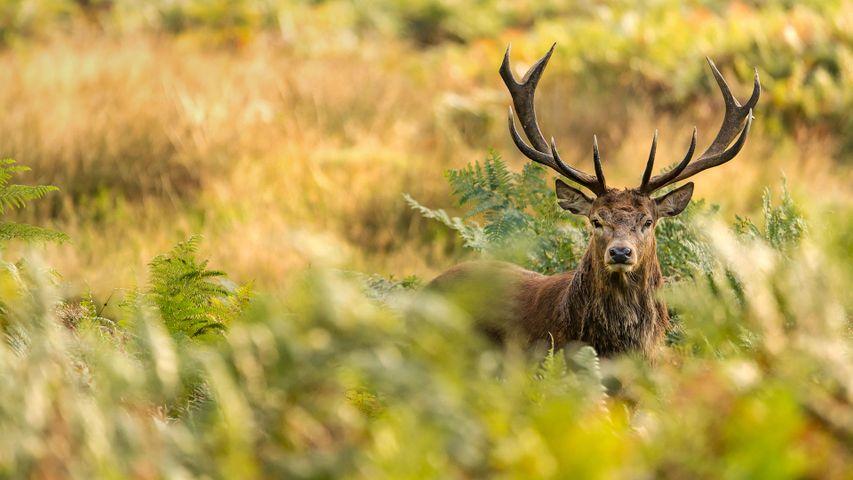 A red deer in Richmond Park, London