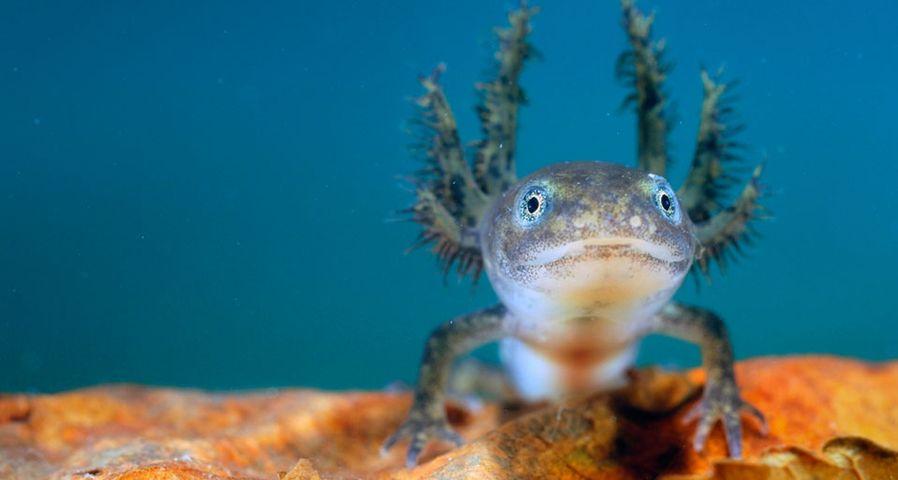 尚未长大的阿尔卑斯蝾螈