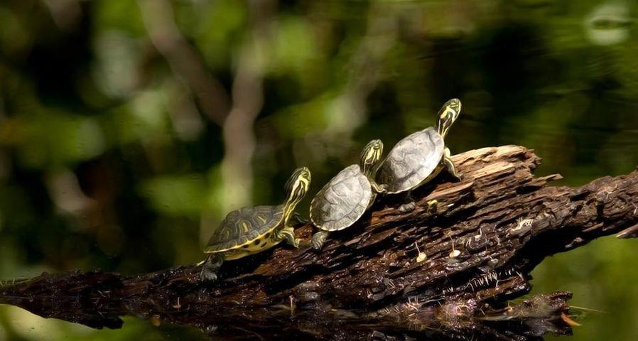 Drei kleine Schildkröten beim Sonnenbad an einem Teich, Duke Gardens, Durham, North Carolina, USA – Mohamed Mahmoud El-Geish ©