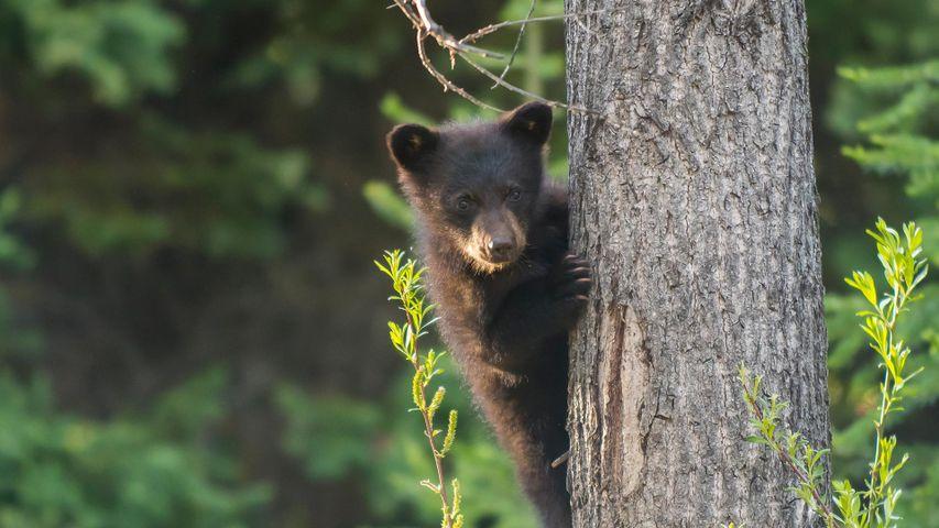 A black bear cub in a tree