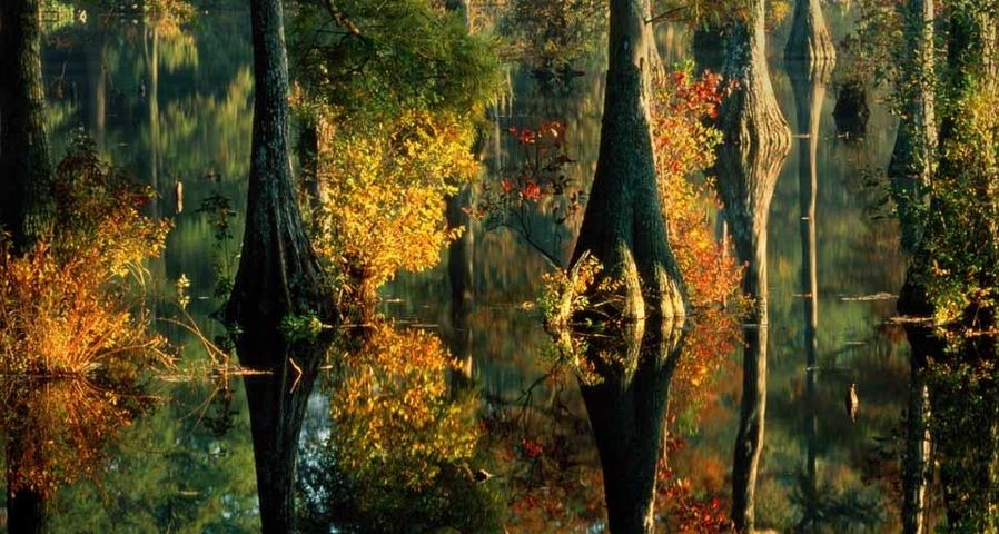 Cypress trees at Trussum Pond, Delaware