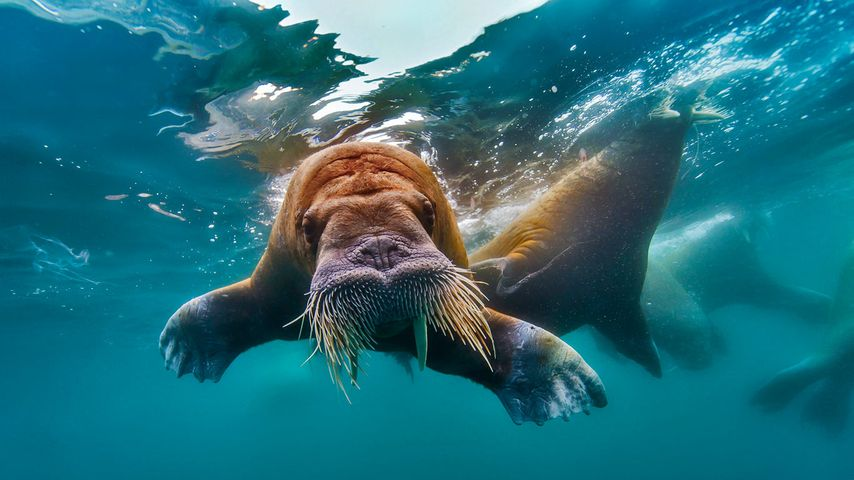 Walrus swimming in the Arctic Ocean