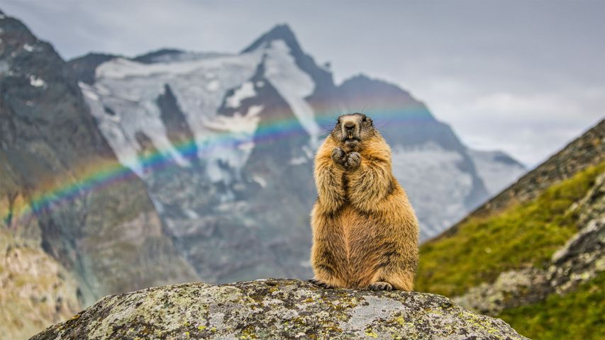 Marmot with the peak of Grossglockner in the background, Austria