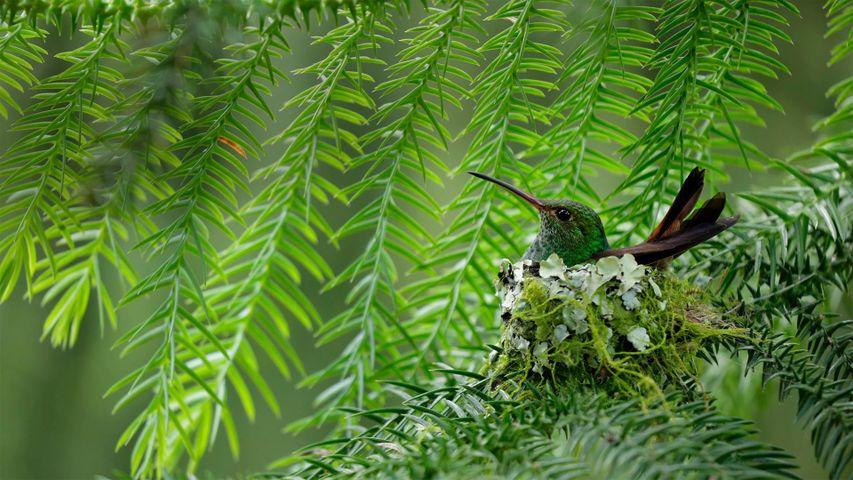 Braunschwanzamazilie, Costa Rica