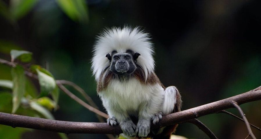Cotton-top or Pinché tamarin of northern Colombia