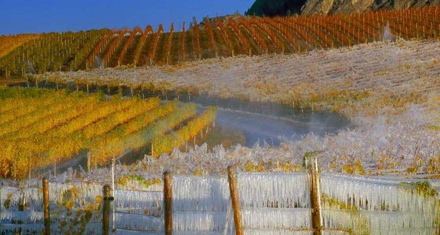 Frostbedeckter Weinberg zur Eisweinernte, South-Okanagan-Tal,  British Columbia, Kanada
