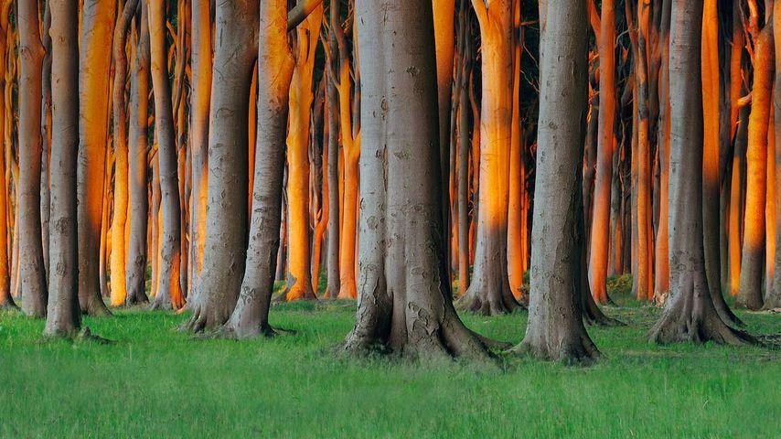 """Nienhäger Holz (""""Gespensterwald"""") bei Nienhagen, Mecklenburg-Vorpommern, Deutschland"""
