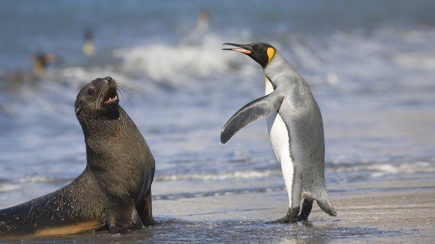 2006年3月南乔治亚岛圣安德鲁斯海湾,国王企鹅与南极海狗
