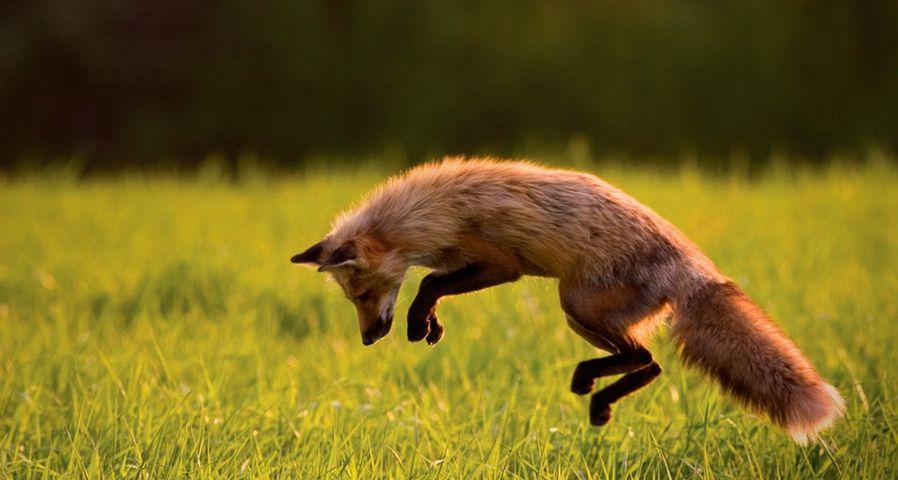 加拿大爱德华王子岛上的赤狐