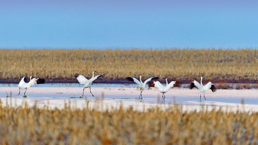Whooping cranes taking off during spring migration in South Dakota, USA