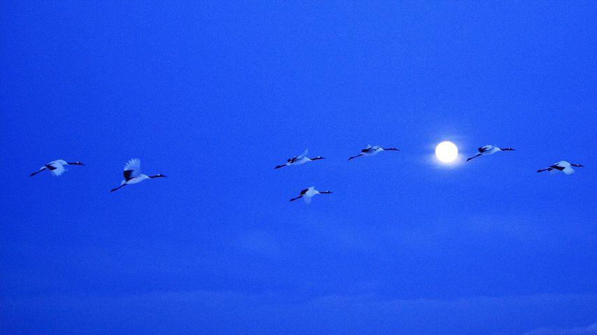 「満月とツル」北海道, 釧路