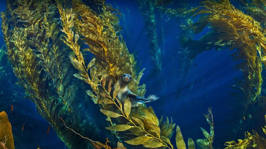 California sea lion in a forest of giant kelp near the Channel Islands of California