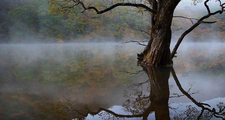 View of reflection old tree with fog in Jusanji Lake/Cheongsonggun, Gyeongsangbuk-do, South Korea