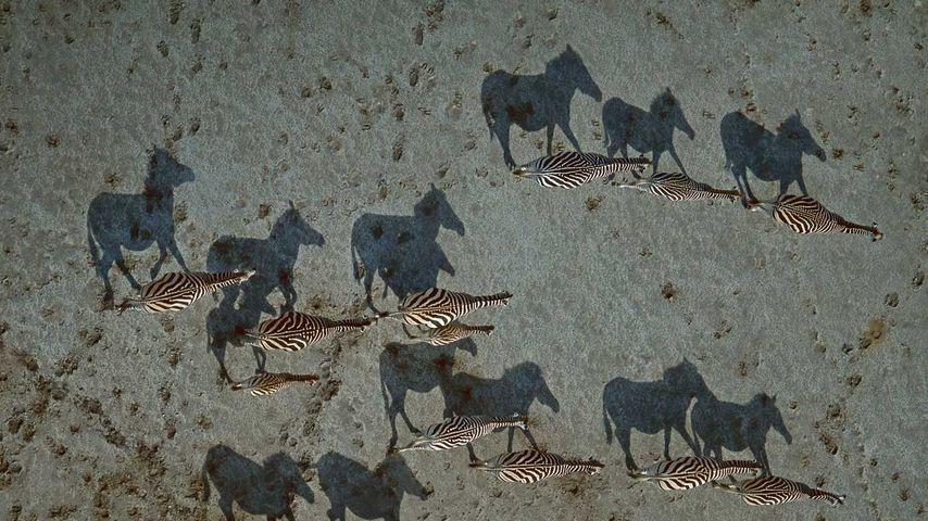 Steppenzebras im Gebiet der Makgadikgadi-Salzpfannen, Botswana