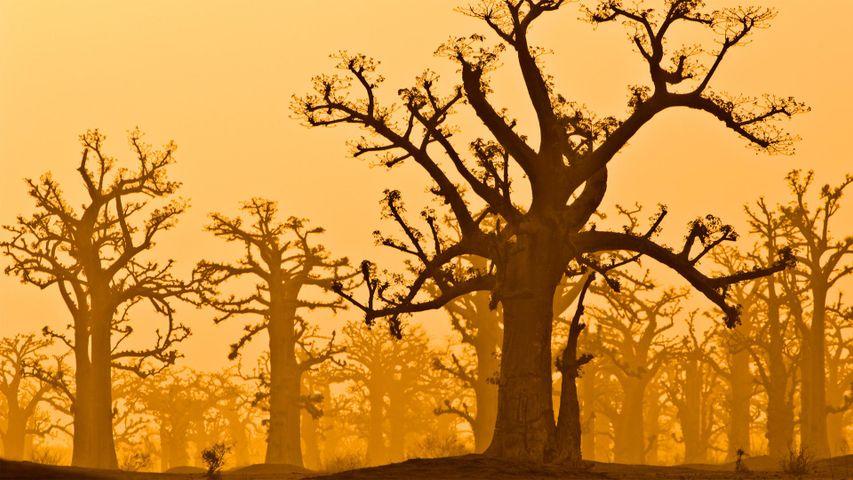 Une plantation de baobabs près de la Réserve de Bandia, Sénégal