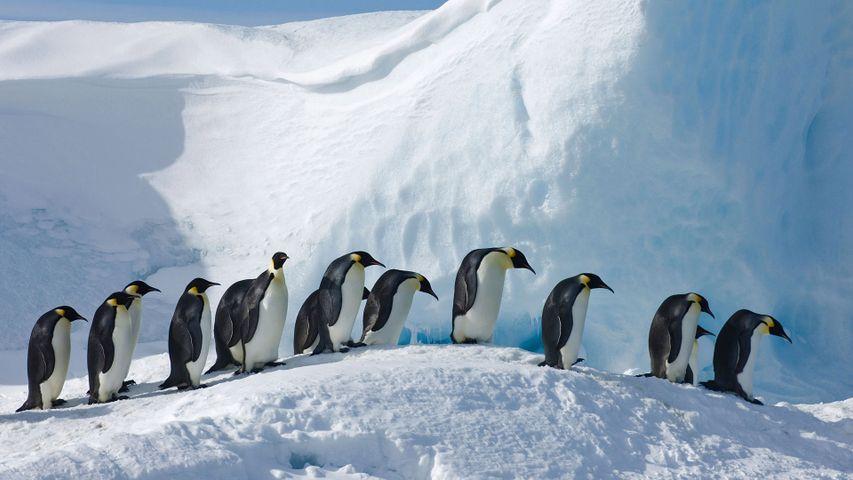 Emperor penguins on Snow Hill Island, Antarctica
