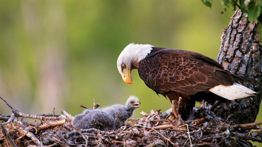 安克雷奇的秃鹰,阿拉斯加