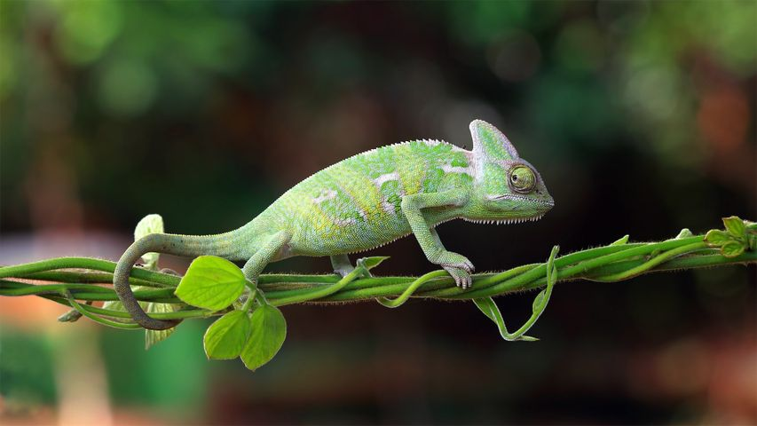 Chameleon walking on a plant, Indonesia