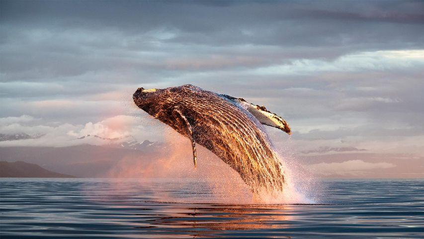 North Pacific humpback whale breaching in Alaska, USA