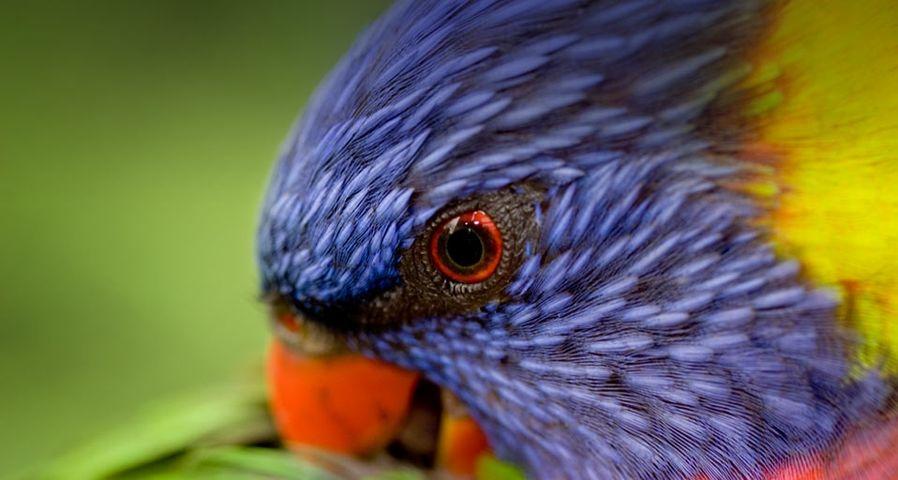 Ein Allfarblori putzt sein Gefieder – Tim Laman/National Geographic/Getty Images ©