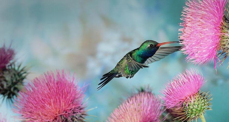 花丛中的雄性蜂鸟