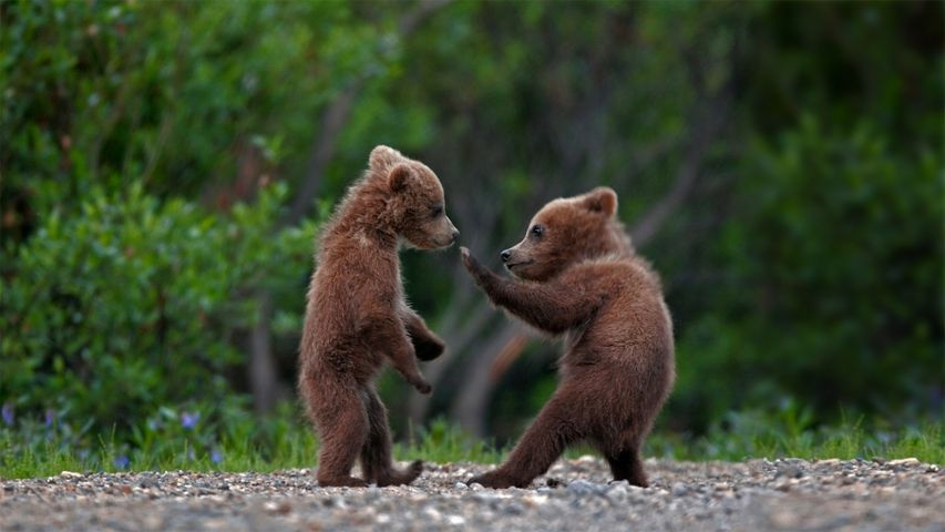 Grizzly bear cub siblings playing in Denali National Park and Preserve, Alaska