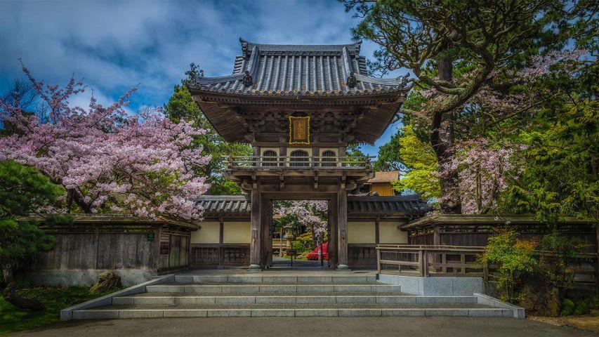 金门公园中日本茶园里盛开的樱花,加州旧金山