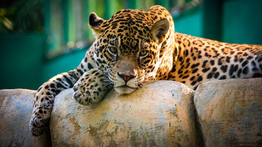 mammal big cat animal outdoor cheetah carnivore african leopard big cats