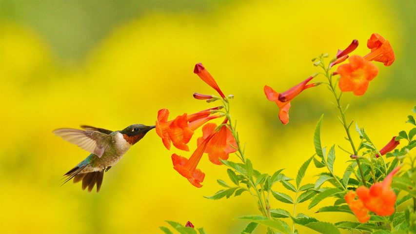 Ruby-throated hummingbird feeding on yellow bells in the Texas Hill Country