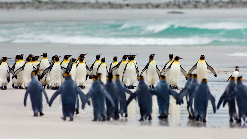 King penguins at Volunteer Point, Falkland Islands