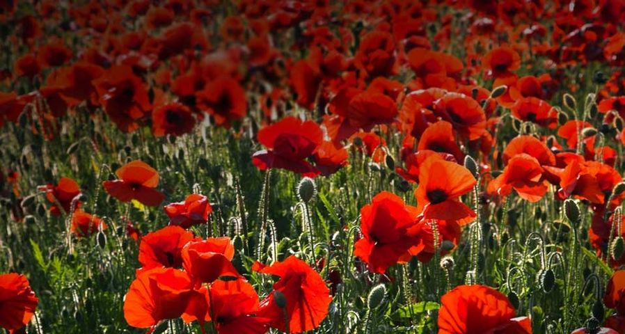 Common Poppies on the South Downs near Brighton, West Sussex, England