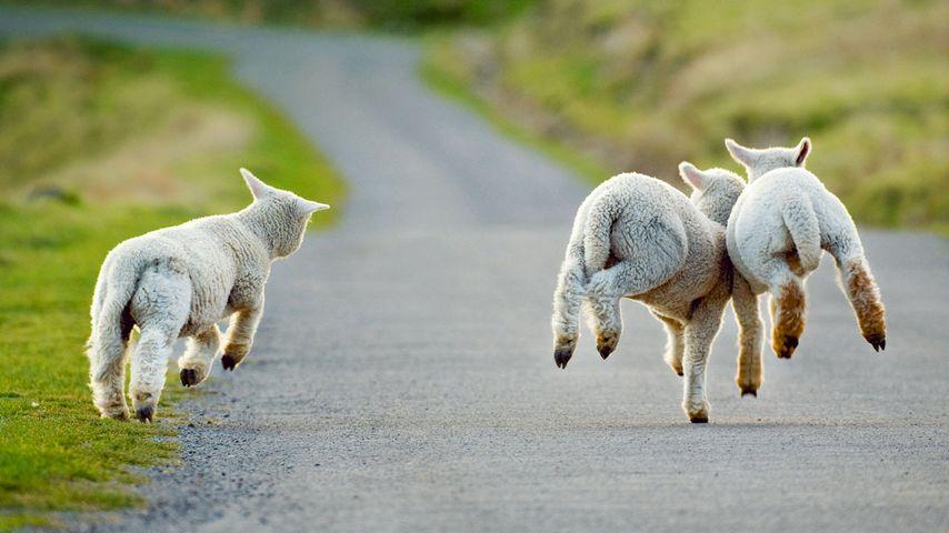 新西兰基督城,三只欢快的小羔羊