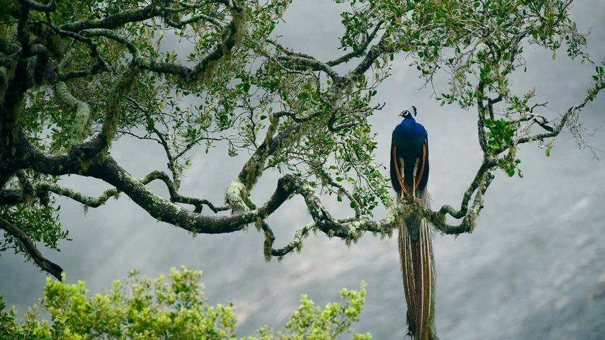Blauer Pfau im Yala-Nationalpark, Sri Lanka