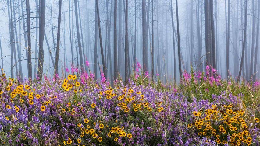 Das Erholungsgebiet am Kettle River im kanadischen British Columbia strotzt vor Wildblumen, nachdem ein Feuer einen Großteil des Waldes zerstört hat
