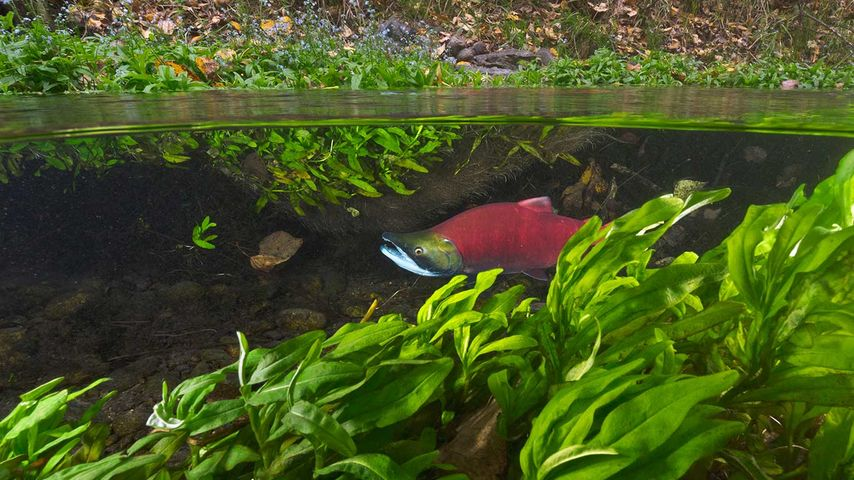 Sockeye Salmon (Oncorhynchus nerka) migrating upstream, Adams River, Roderick Haig-Brown Provincial Park, B.C.