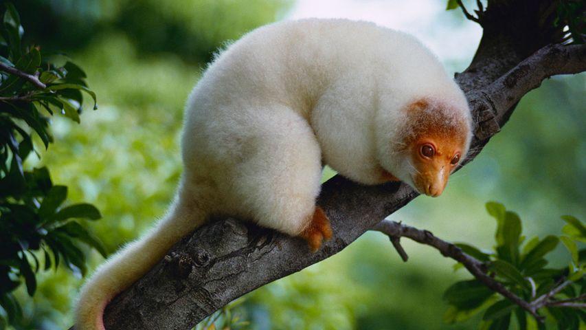 """在巴布亚新几内亚发现的新生物种,它被命名为""""袋猴"""""""